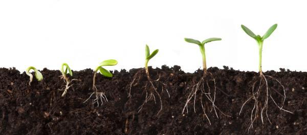 بنیه بذر