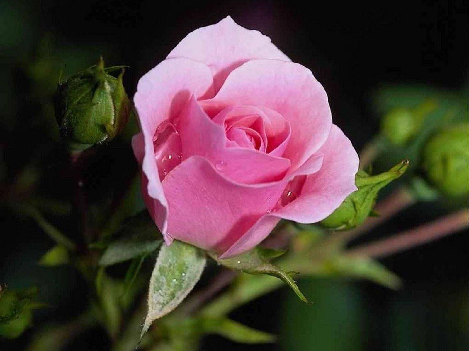 صفحه اصلي - گالري تصاویر - گل رز